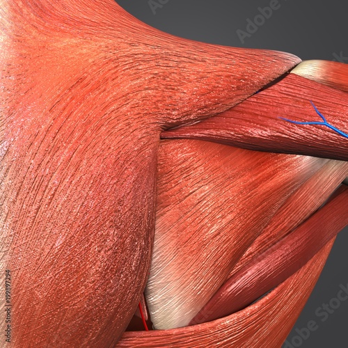 Shoulder Muscles with Circulatory System Closeup Fototapet