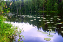 Lake With Water Lilies . Summer Landscape.