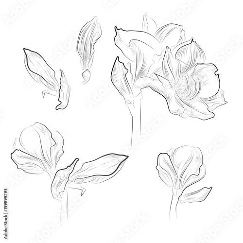 Fotobehang Bloemen zwart wit Amaryllis flower set on white background