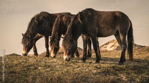 Fotografie, Obraz  Wild Horses in the dunes of Bergen aan Zee at the coast of the Dutch Northern Se