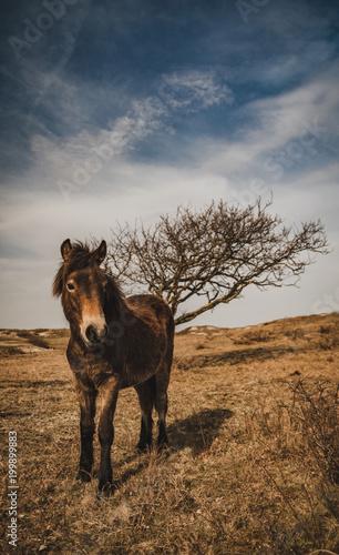 Fotografie, Obraz  Wild horse in the dunes of Bergen aan Zee at the coast o the Dutch Northern Sea