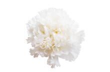 White Carnation Isolated