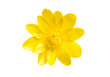 Leinwandbild Motiv Yellow spring flower isolated