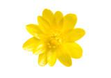 Fototapeta Kwiaty - Yellow spring flower isolated