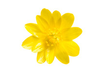 Yellow Spring Flower Isolated