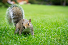 Curious Squirrel Starring At You/ At The Camera. Shot On The Grass Of A London Park.