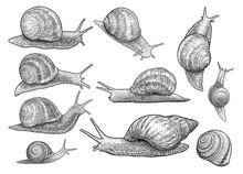 Garden Snail Illustration, Drawing, Engraving, Ink, Line Art, Vector