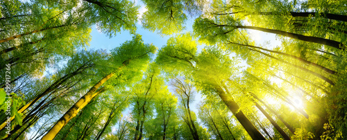Papiers peints Forets Grüne Baumkronen im warmen Sonnenschein als Panorama