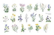 Collection Of Detailed Drawings Of Different Botanical Flowers And Decorative Flowering Plants Isolated On White Background. Bundle Of Elegant Floral Decorations. Colorful Realistic Vector