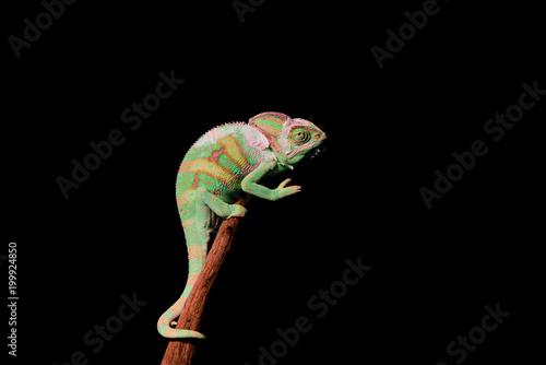 Staande foto Kameleon Veiled Chameleon