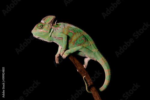 Veiled Chameleon #199924851