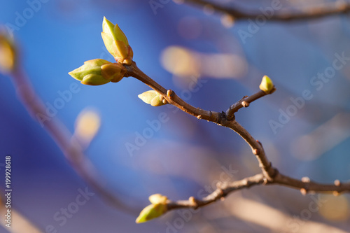Fototapeta The first early spring buds