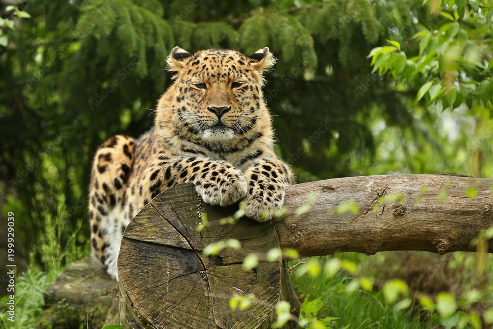 Endangered amur leopard in the nature looking habitat. Wild animals in captivity. Beautiful feline and carnivore. Very rare kind of big cats species. Panthera pardus orientalis.