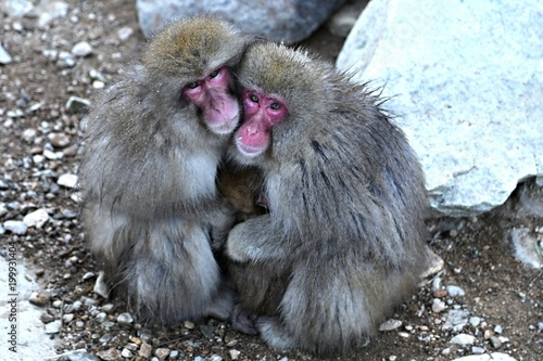Fotografie, Obraz  Snow monkeys in Nagano