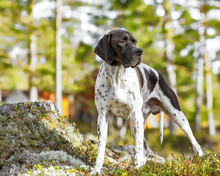 Hunting Dog English Pointer