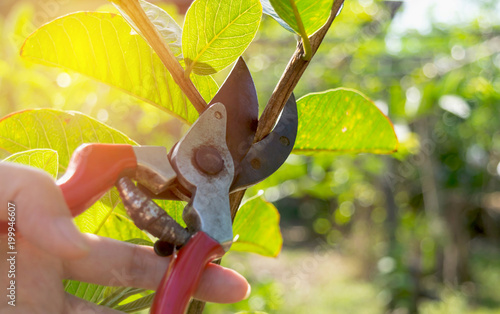 Cuadros en Lienzo pruning trees with pruning shears in the garden on nature background
