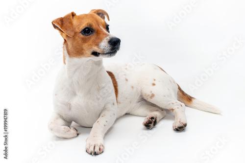 Fotografie, Obraz  Jack Russell Terrier isolated on white background.