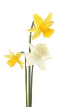 Three Miniature Daffodils