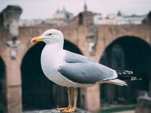 Möwe In Der Schönen Stadt Rom