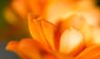 Leinwandbild Motiv A small orange flower as a background