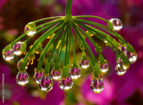 Dill chandelier / Macrophotography of raindrops on the inflorescence of dill. Like a chandelier. Against  background of blooming summer garden after rain. drops reflect the flowers - 199960018