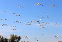 Flock Of Seagull Gull Birds Fl...