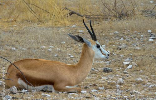 Deurstickers Antilope Antilope, liegend
