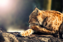 Wild Lynx Lying Sideways