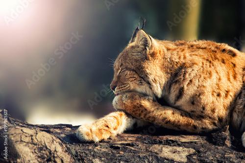 Fototapeta wild lynx lying sideways