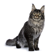 Young Adult Ticked Maine Coon Cat Standing Facing Camera Isolated On White Background And Looking In Lens