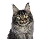 Head Shot Of Young Adult Ticked Maine Coon Cat Sitting Isolated On White Background And Looking At Camera