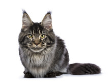 Young Adult Ticked Maine Coon Cat Laying Down  Isolated On White Background Looking Straight At Lens