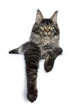 Young Adult Ticked Maine Coon Cat Laying With One Paw Over Edge Isolated On White Background Looking At Lens