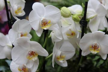 Obraz na SzkleRaft of White Orchids
