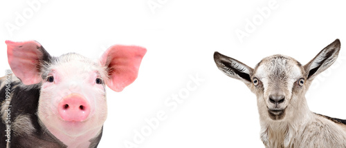 Portrait of a cute pig and a grey goat, closeup, isolated on white background