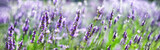 Provence nature background. Lavender field in sunlight with copy space. Macro of blooming violet lavender flowers. Summer concept, selective focus. Banner