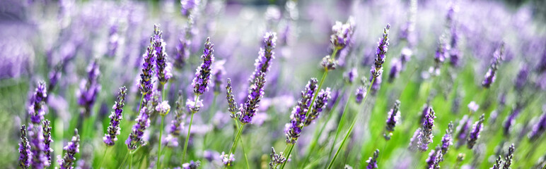FototapetaProvence nature background. Lavender field in sunlight with copy space. Macro of blooming violet lavender flowers. Summer concept, selective focus. Banner