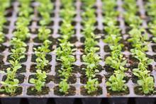 Edging Lobelia Seedlings Into ...