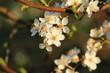 Baumblüte / Baumblüte im Frühling
