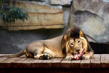 Lion Eats Meat