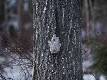 A Siberian Flying Squirrel Cli...