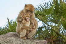 Mother And Baby Of The Barbary Macaque Monkeys Of Gibraltar.