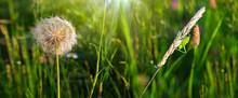 Grasshopper In Grass On Meadow In Summer Fild.