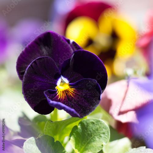 Foto op Canvas Pansies Dark blue pansy flower in a garden
