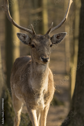 Tuinposter Hert Portrait of a beautiful European deer standing in a forest in the Czech Republic.