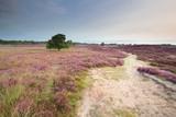 ścieżka przez łąki z kwitnącym wrzosem - 199985413