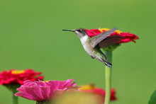 A Female Ruby Throated Hummingbird Flies About, Sipping Nectar From The Brightly Colored Zinnias In My Garden.