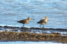 Red Tailed Godwits On The West Coast In Sweden