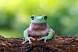 Tree frog, dumpy frog, frogs, animal