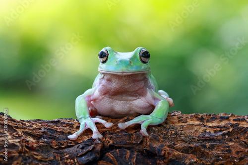Türaufkleber Makrofotografie Tree frog, dumpy frog, frogs, animal